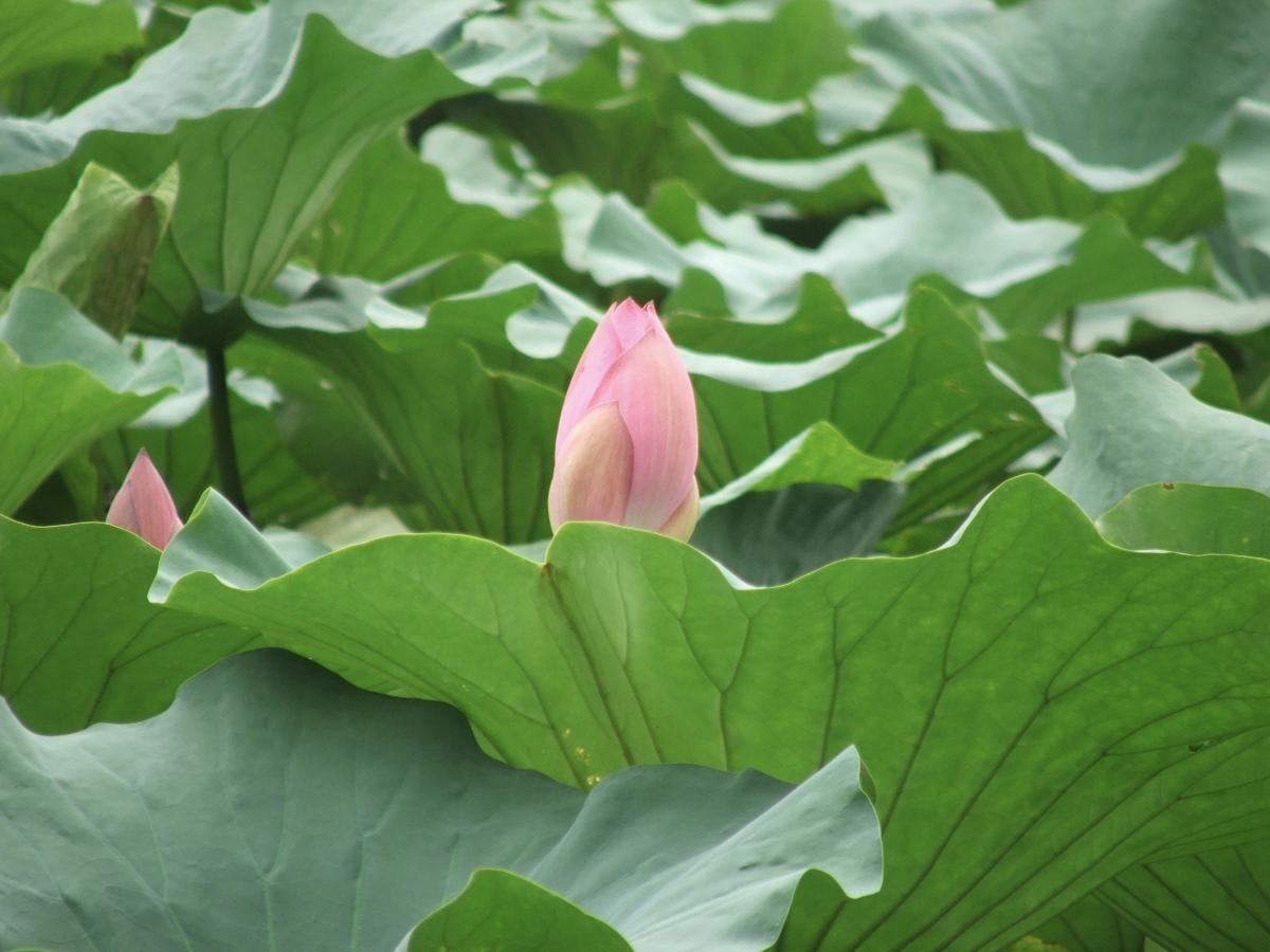 flor de loto 1200x900